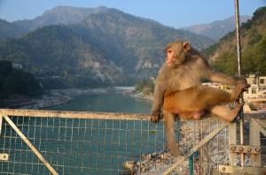 W Rishikesh także małpy ćwiczą jogę