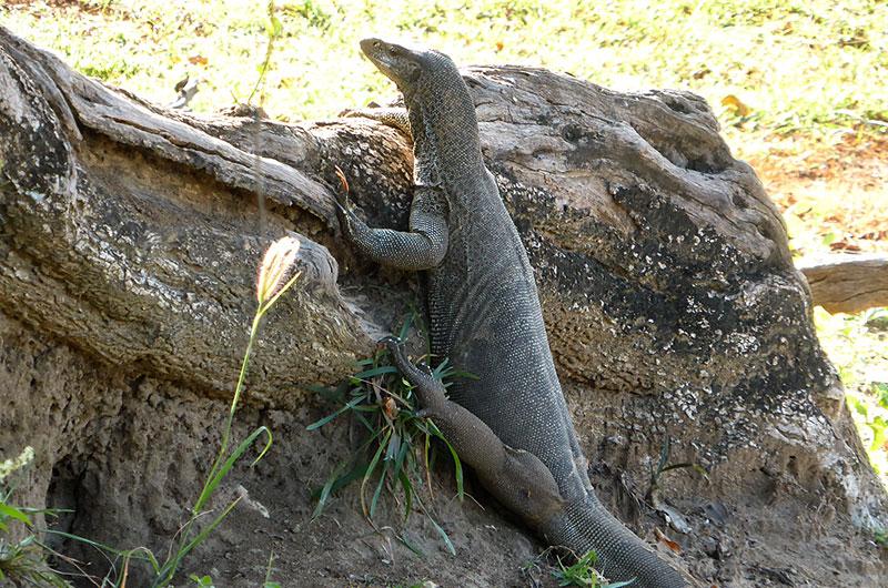Waran w Parku Narodowym Udawalawe