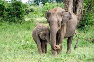 Słonie wParku Narodowym Udawalawe