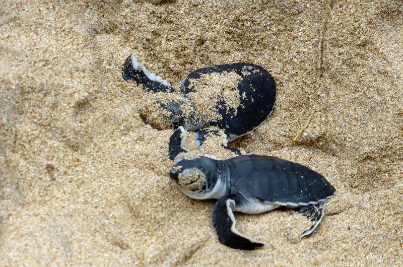 Małe żółwie, Sri Lanka