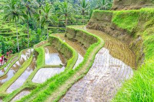 Jati Luwih - tarasy ryżowe, Bali