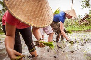 Nauka sadzenia ryżu wRumah Desa, foto: rumahdesa.com
