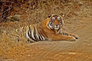 tygrys bengalski w P.N. Ranthambore (CC BY-SA 3.0)